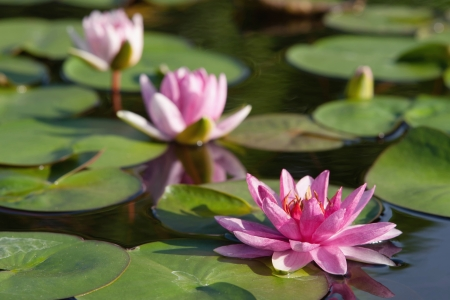 Water lilly flower Stock Photo - 14571590