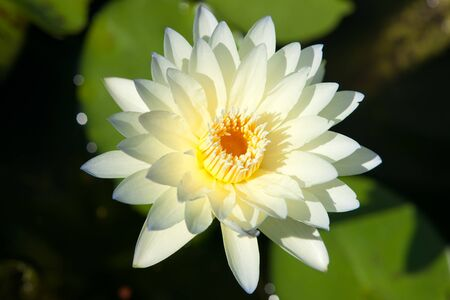 Water lilly flower Stock Photo - 14945631