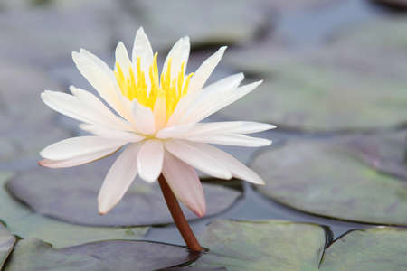 lilia: Beautiful lotus in the pond