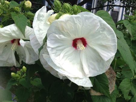 White hibiscus flower Zdjęcie Seryjne