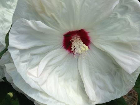 White hibiscus background
