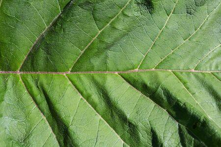 One big burdock leaf in close up in full frame.