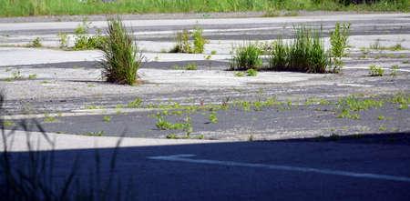 Green big grass  grows in cracks in asphalt on parking or car park.