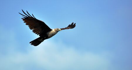 Eagle soaring high in the blue sky