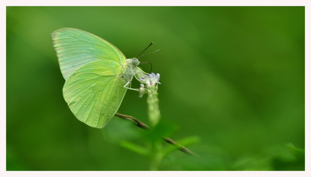 green butterfly: Green butterfly isolated on green background Stock Photo