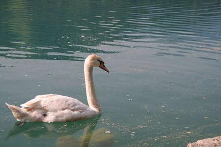 Swan natation