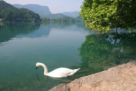 Dans un lac des cygnes  Banque d'images