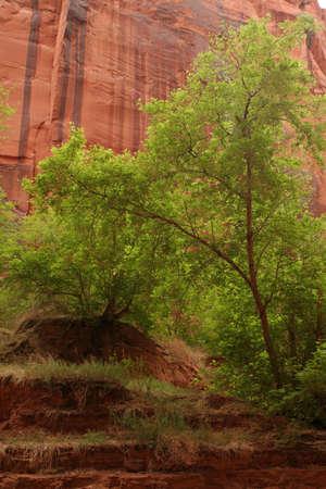 cottonwood arbre dans le d�sert