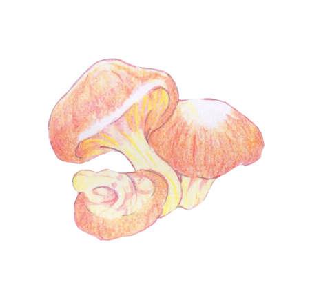 Illustration of shiitake mushrooms drawn with colored pencils. 向量圖像