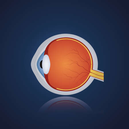Structure of anatomy human eye. Realistic eyeball on blue background. Side view. Vector illustration