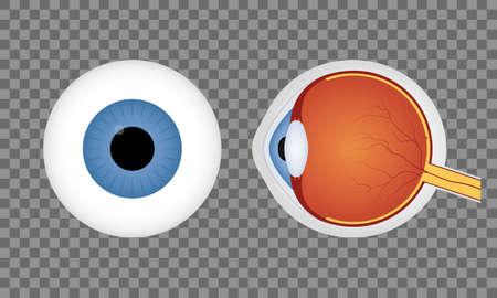 Realistic human eyeball on transparent background. Blue pupil. Front and side view of human eye. Vector