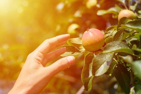 女性の手は、発生し、ツリーから新鮮な赤リンゴをつかみます。農村保健の概念。