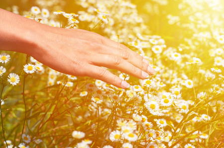 Girl Stoke field with daisies. The concept of unity with nature, purity of nature. Stock Photo