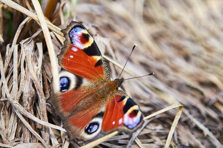 Beautiful butterfly on dried grass sitting in the sun.