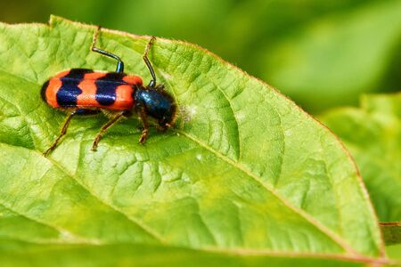 A striped beetle on the green foliage in the forest.