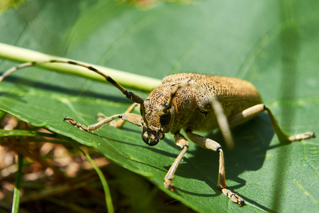 long horn beetle: Beige big beetle with long mustache sits in the forest.