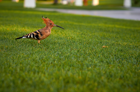 beautiful and colorful bird hoopoe is looking for food on a green lawn.