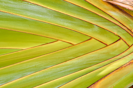 closeup texture of a palm leaf, geometric abstract background.