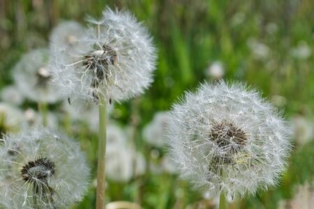 Three white fluffy dandelion on green grass, nature background.