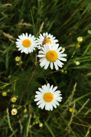 Daisy camomile flower close up image.