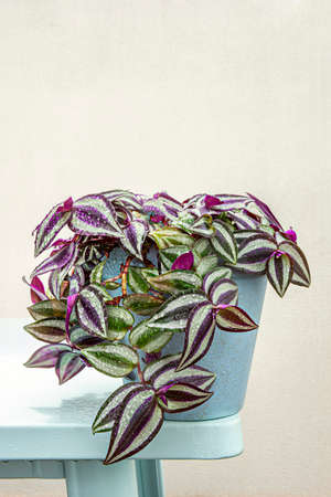 Blue pot with tradescantia zebrina of hanging green and violet leaves on the edge of a pale blue table after a summer storm Stock Photo