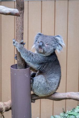 Nice Koala Bear in Forest Zoo, Hong Kong