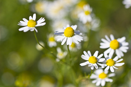 One of the famous medical plants, the Chamomile.
