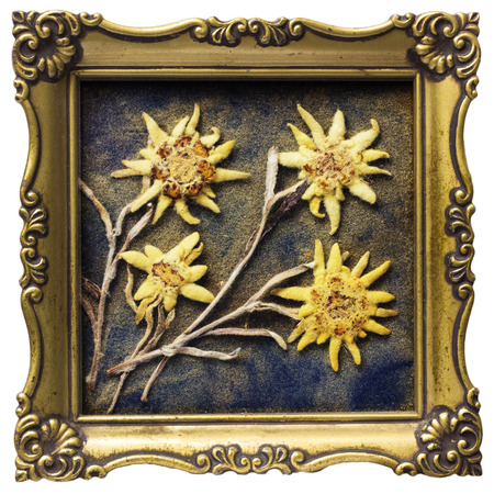 Aged dried edelweiss in photoframe