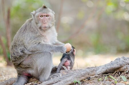Monkey eating eggs Stock Photo