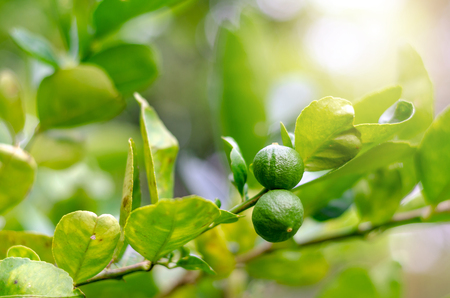 Lime tree has many effects in backyard garden. Stockfoto