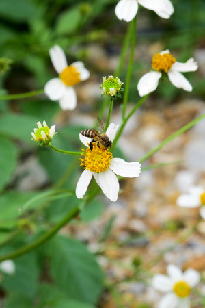 syrphid fly: bee on flower