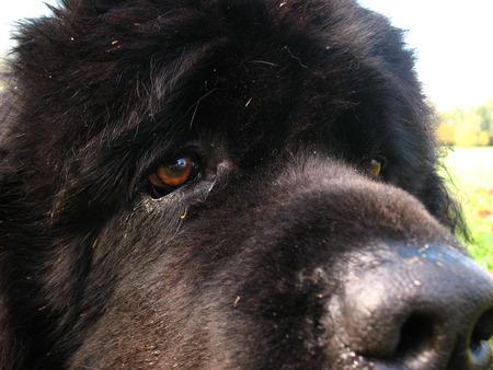 black and white newfoundland dog: Tosco