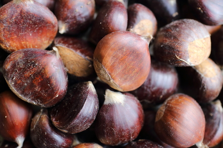 conkers: Chestnuts picked up in wood under their tree Stock Photo