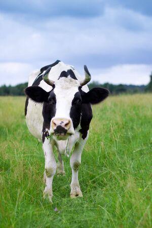 A cow grazes in a field. Closeup. Stock Photo - 6008567
