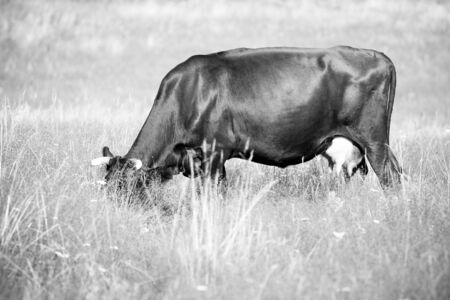 A cow grazes in a field. Closeup. photo