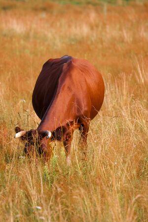 A cow grazes in a field. Closeup. photo