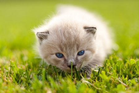 White kitten on a green lawn. Selective focus. photo