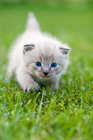 草の上の白い子猫。