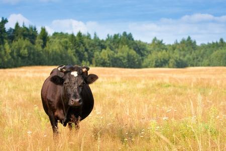 A cow grazes in a field photo