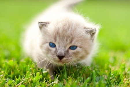 White kitten on a green lawn photo