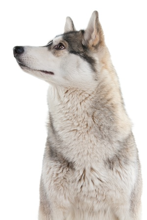 gray wolf black and white: Dog on a white background.