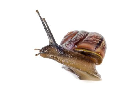Snail close-up, macro  photo