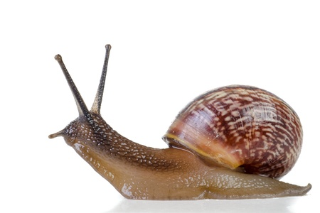 slug: Snail close-up, macro  Stock Photo