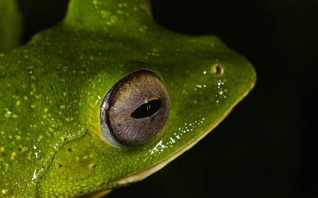 Close-up shot of malabar gliding frog