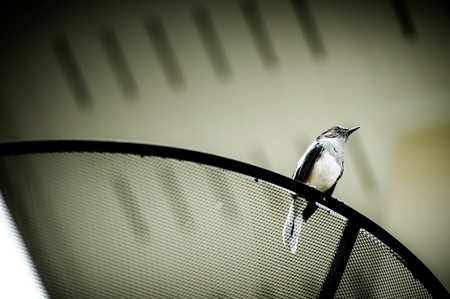 magpie robin bird stay alone Stock Photo