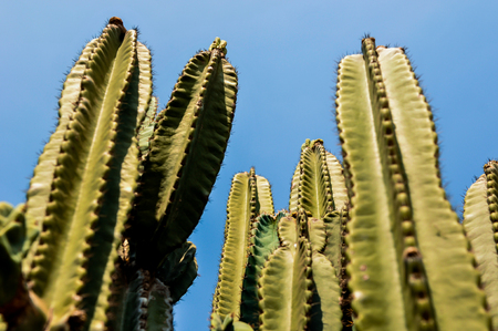 DETAIL VIEW OF THE CARDON CACTUS WITH BLUE CLEAR SKY IN SUMMER Stock Photo