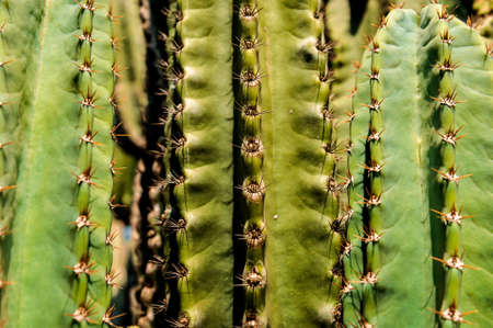 DETAIL VIEW OF THE CARDON CACTUS IN SUMMER