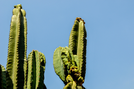 DETAIL VIEW OF THE CARDON CACTUS IN SUMMER ON CLEAR BLUE SKY
