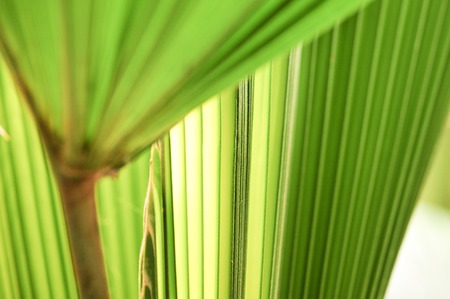 green lines: Lines and textures of Green Palm leaves with light of sunshine in tropical forest