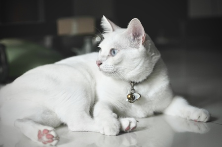 Siamese cat is the Thai domestic cat, very cute and smart pet in house, beautiful white cat and blue eye , pet in house